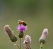 吃从一株plumeless蓟的蜂花蜜 免版税图库摄影