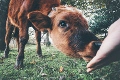 吃从人手的母牛小牛 免版税库存照片
