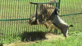 吃从低谷的喀麦隆山羊干草 股票录像