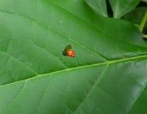 吃直到被嚼的孔的红色毛虫一片绿色树叶子出现 免版税库存照片