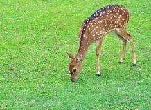 吃从后侧方的母鹿草 免版税库存图片