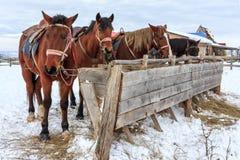 吃从哺养坚韧的栗色马干草在冬天 免版税库存图片