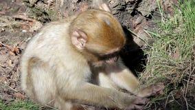 吃从地面-阿尔及利亚&摩洛哥的巴贝里短尾猿的小猴子 影视素材