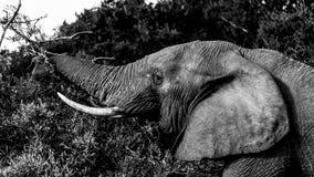 吃-大象 免版税库存照片