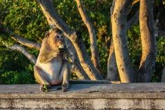 吃猴子的玉米 免版税图库摄影