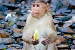 吃猴子的香蕉 免版税库存照片
