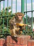 吃猴子的香蕉 免版税图库摄影
