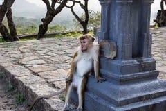 吃猴子 图库摄影