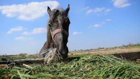 吃从拖车的被栓的灰色马干草 股票视频