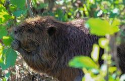 吃从灌木的野生海狸春天叶子 免版税图库摄影
