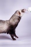 吃维生素浆糊的黑貂白鼬画象 免版税库存图片