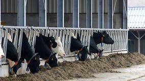 吃黑白的母牛在荷兰槽枥 股票录像