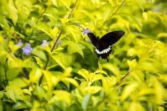 吃紫罗兰色花的一只黑蝴蝶 免版税库存图片