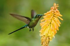 吃从美丽的黄色花的蜂鸟长尾的空气的精灵花蜜在厄瓜多尔 免版税库存照片