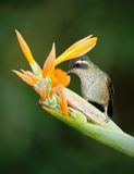 吃从美丽的黄色strelicia花的蜂鸟长尾的空气的精灵花蜜在厄瓜多尔 免版税库存图片