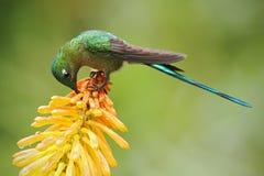 吃从美丽的黄色strelicia花的蜂鸟长尾的空气的精灵花蜜在厄瓜多尔 免版税库存照片