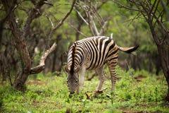 吃绿色叶子的一匹幼小斑马 免版税库存照片