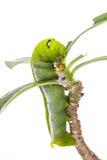 在树的绿色毛虫 免版税库存照片