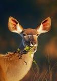吃绿色叶子的Kudu 免版税库存图片