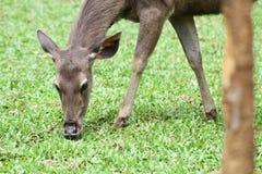 吃绿色新鲜的草的一头幼小母鹿在全国狂放的动物园里 库存图片