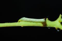 吃绿色植物有黑背景的毛虫 库存图片