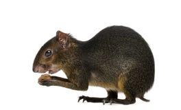 吃绿色的acouchi, Myoprocta pratti,被隔绝 库存图片