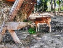 吃绿草的小母鹿 免版税图库摄影