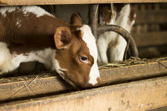 吃从饲养者的小牛 免版税图库摄影