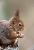 吃从鸟饲养者的逗人喜爱的幼小红松鼠向日葵种子 免版税库存照片
