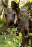 吃从brances,垂直的图象的欧洲麋驼鹿属驼鹿属两小牛叶子 库存照片