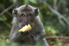 吃fascicularis猕猴属短尾猿的螃蟹 库存照片