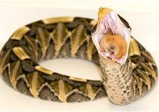 吃gaboon蛇蝎 免版税库存图片