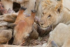 吃giraf的狮子 免版税库存图片