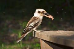 吃kookaburra 免版税库存照片