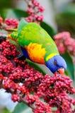 吃lorikeet彩虹的浆果 库存照片