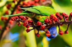 吃lorikeet彩虹的浆果 免版税库存图片