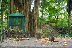 吃patatoes的一个小组猴子在猴子森林,巴厘岛,印度尼西亚 库存照片