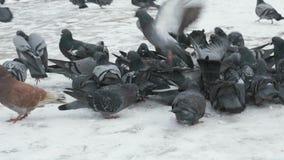 吃switchgrass的鸽子群在公园 影视素材