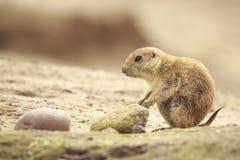 吃vegtables的黑被盯梢的草原土拨鼠草原犬鼠ludovicianus 库存照片