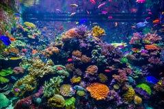 各种各样明亮的鱼移动反对珊瑚珊瑚虫背景和在一个大水族馆,新加坡的水下的世界 免版税库存图片