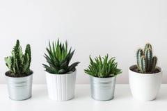 各种各样的仙人掌和多汁植物的汇集用不同的罐 白色架子的盆的仙人掌房子植物 图库摄影