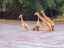 各种各样的动物在徒步旅行队的非洲在肯尼亚 库存图片