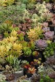 各种各样的惊人的五颜六色的多汁植物在庭院里 免版税图库摄影