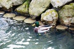 各种各样的湿石头和鸭子,与孔的抽象背景 免版税库存图片