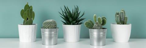 各种各样的盆的仙人掌房子植物的汇集白色架子的反对淡色绿松石上色了墙壁 仙人掌种植横幅 免版税库存图片