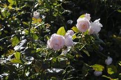 各种各样的罗斯FLWOER和植物 免版税库存照片