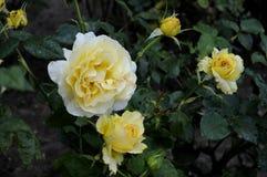 各种各样的罗斯FLWOER和植物 免版税库存图片