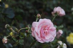 各种各样的罗斯FLWOER和植物 免版税图库摄影