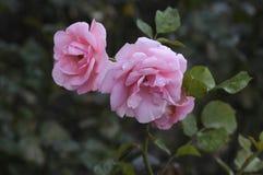 各种各样的罗斯FLWOER和植物 库存照片
