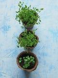 各种各样的草本幼木在泥煤罐的 库存照片
